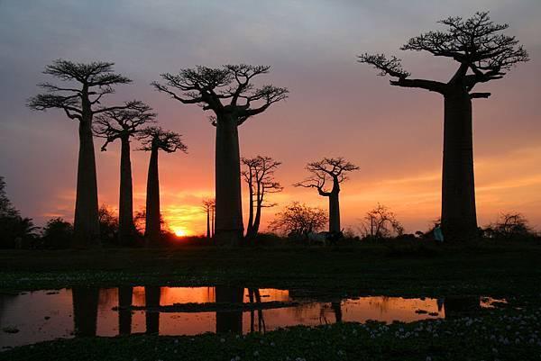 馬達加斯加 猴麵包樹