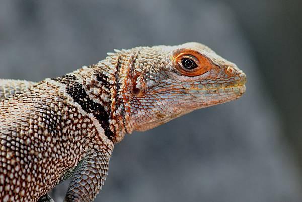 馬達加斯加 蜥蝪