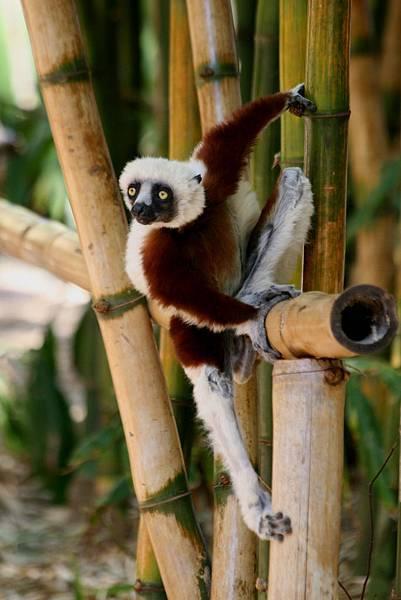 馬達加斯加 狐猴