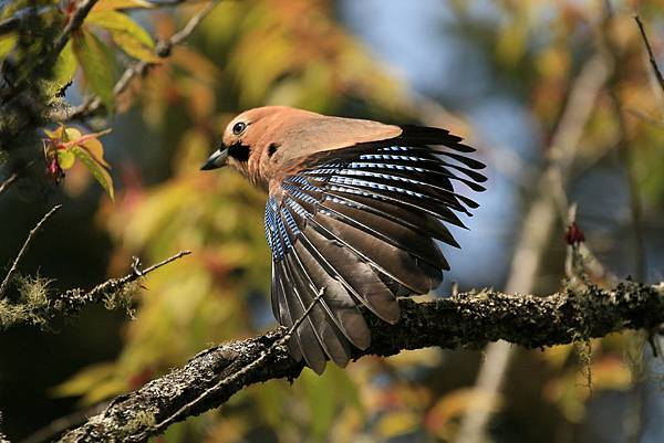 松鴉 (橿鳥)