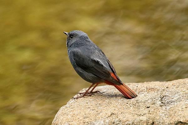 鉛色水鶇(公鳥)