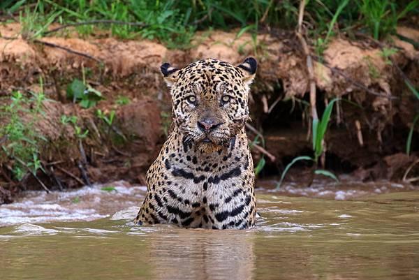 巴西 潘塔納爾濕地 美洲豹