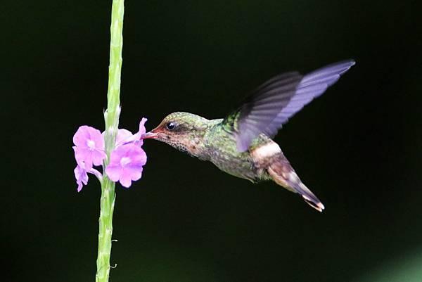 纓冠蜂鳥 (雌)