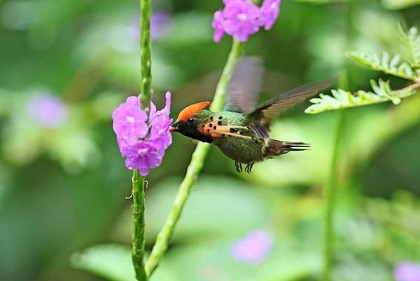 纓冠蜂鳥 (雄)