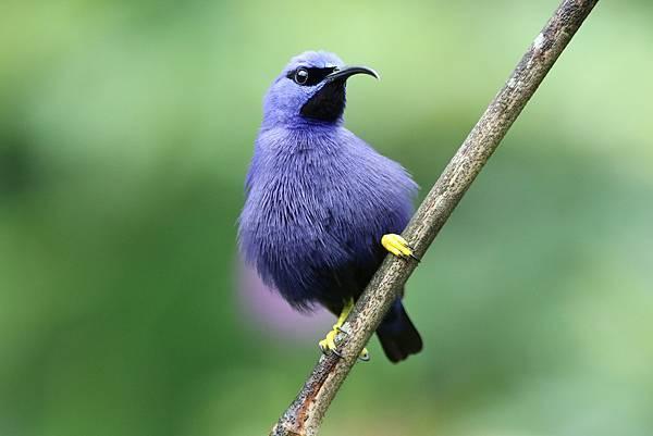紫旋蜜雀 (雄)