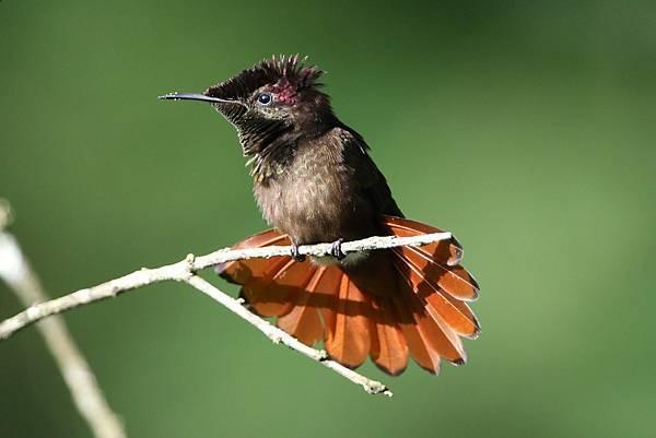 金喉紅頂蜂鳥