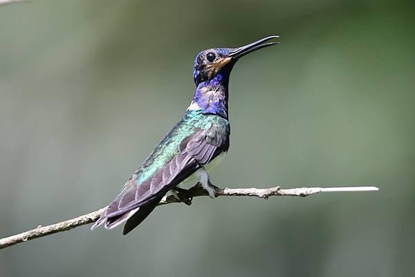 白頸蜂鳥 (亞成)