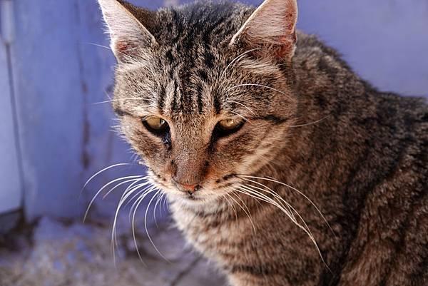 摩洛哥的貓