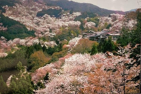 吉野山 一目千本 圖片