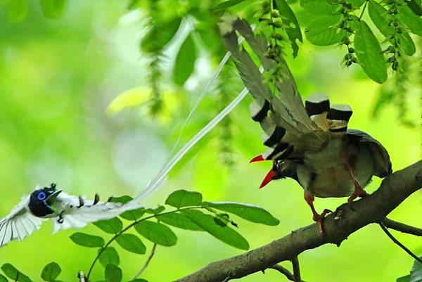 白綬帶 驅趕 紅嘴藍鵲