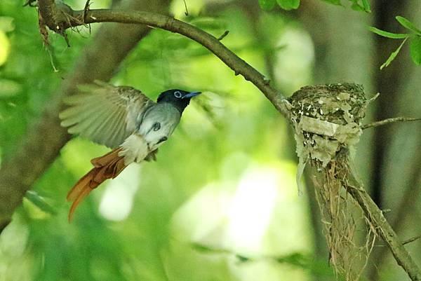 中國 安徽 白綬帶母鳥