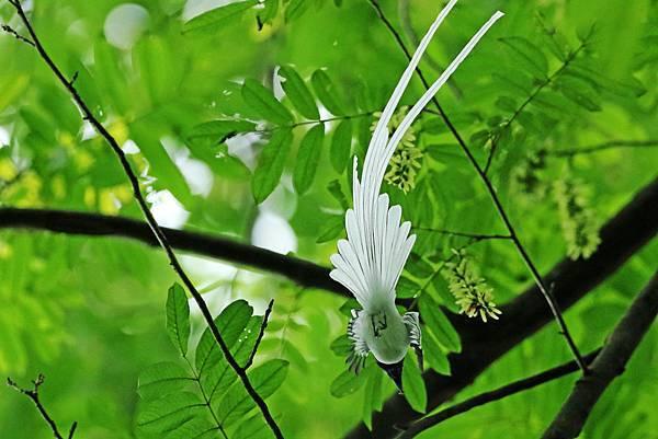 中國 安徽 白綬帶
