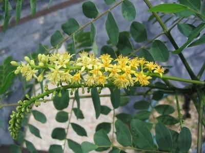 孔雀樹的花