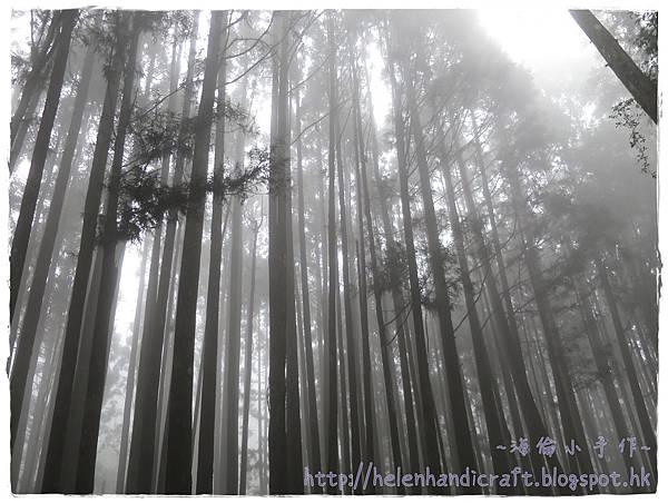 起霧杉林溪