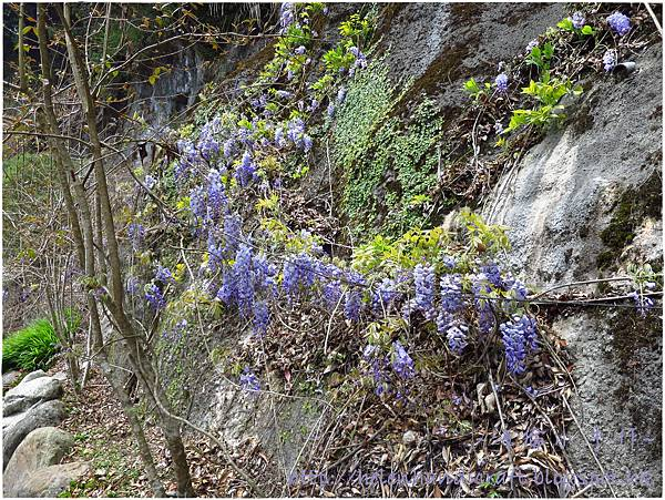 杉林溪紫藤