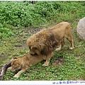 公獅與母獅~~~>///////<
