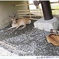 北海道也有梅花鹿