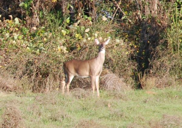 deer.bmp