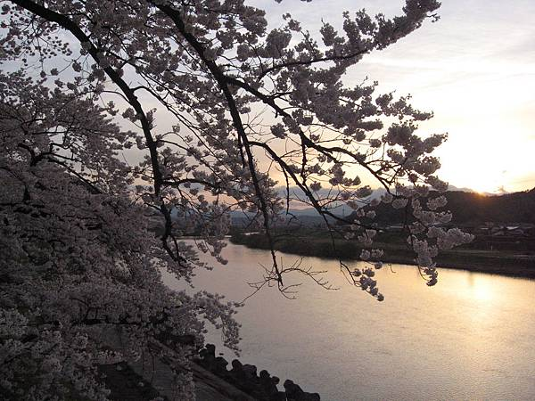 大河原櫻花