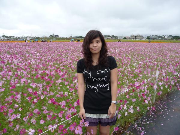 紫色大波斯菊(我好肉喔)