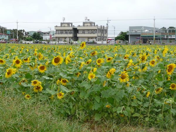 我真的好想走在向日葵花田裡感受一下淹沒於花海中的感覺