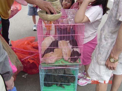 出售中的小山豬