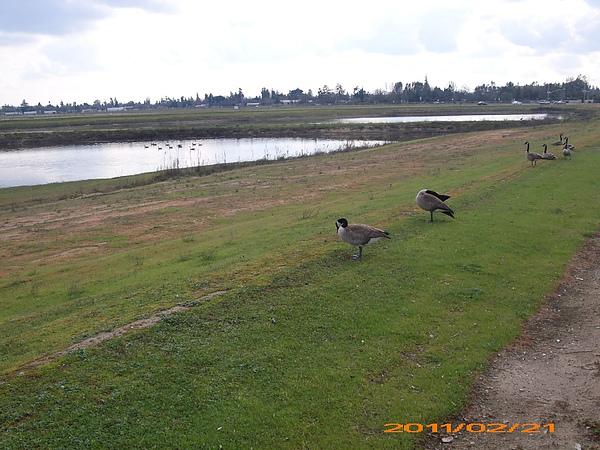 路邊小水池的鵝.jpg