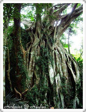 10樹抱石.jpg