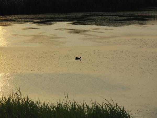 大漢溪之鴨