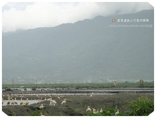赤柯山的無緣金針花海2.jpg
