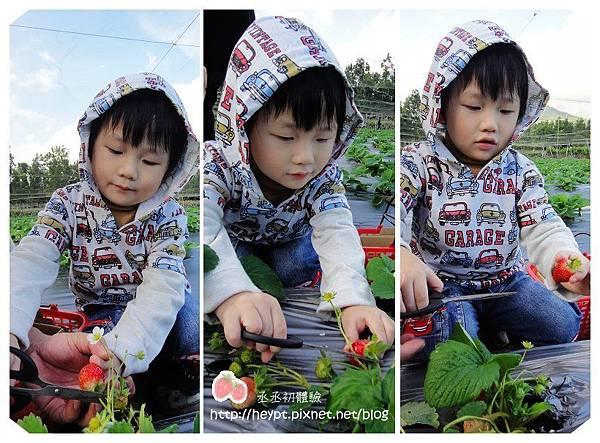 採草莓7.jpg