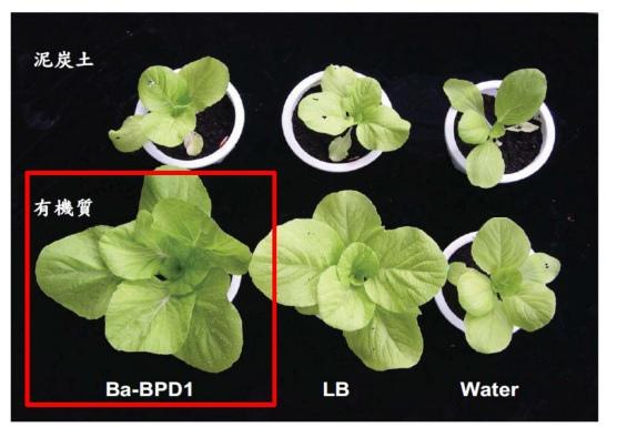 磷寶葉菜表現.jpg