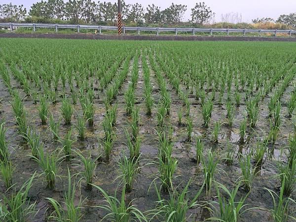 水稻生長情形