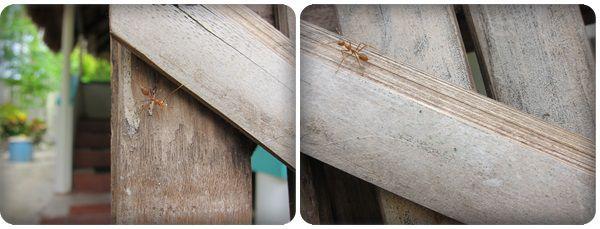 0602-63-超大的螞蟻.jpg