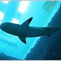 0826-22-鯊魚.jpg