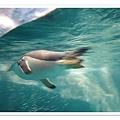 0826-44-一直游泳的企鵝.jpg