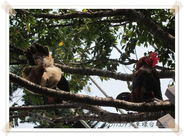 0902-13-在樹上的雞.jpg