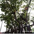 0902-14-在樹上的雞.jpg