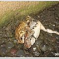 109-61-青蛙交配.jpg