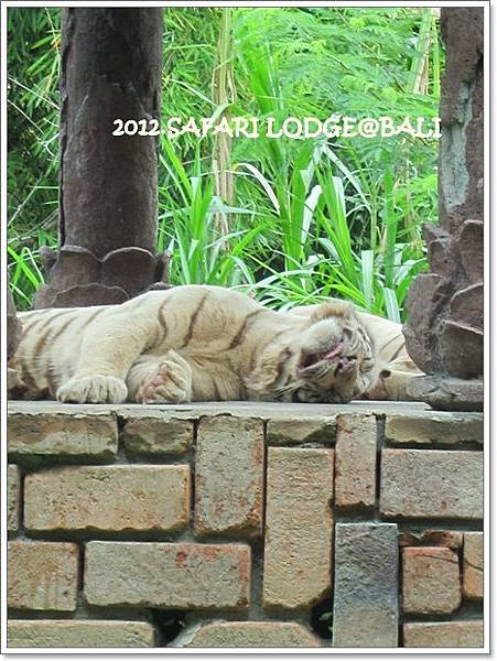 SAFARI-54-white tiger.jpg