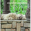 SAFARI-54-white tiger.jpg
