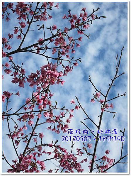 20120307-21-山櫻花