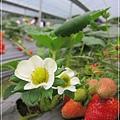 20120318-18-內湖採草莓