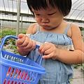 20120318-20-內湖採草莓
