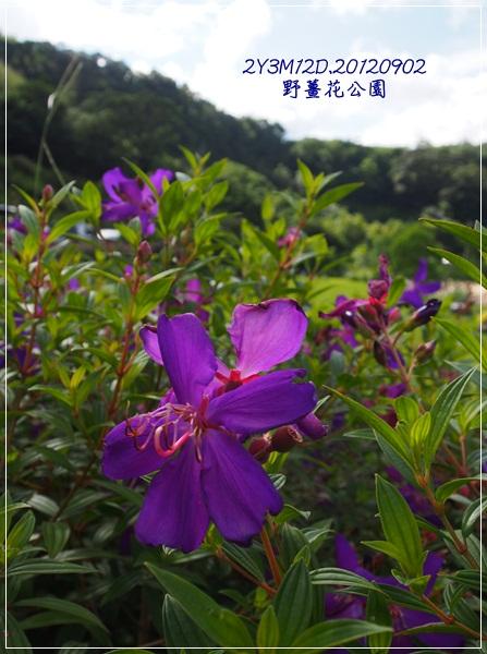 野薑花公園-37