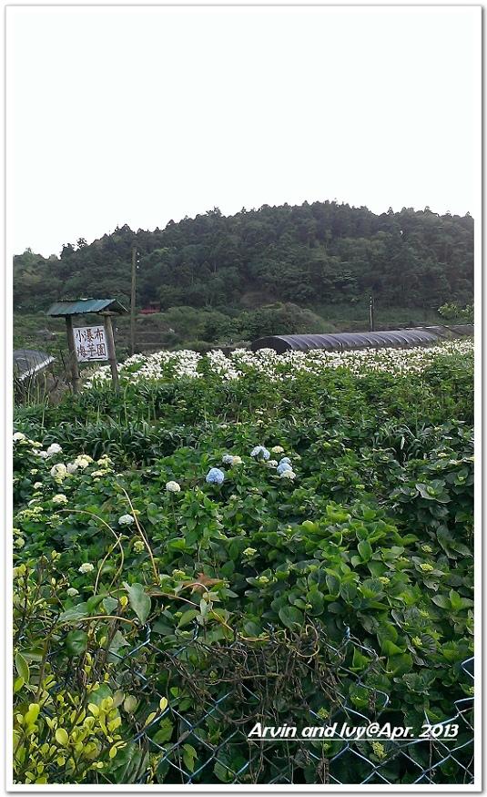 竹子湖 041