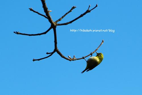綠繡眼沒有躲在梅花樹裡吸花蜜,在這枯枝上磨嘴巴?