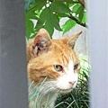 舊岩崎宅邸外的貓