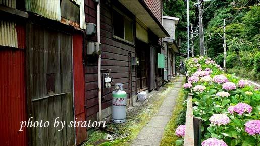 民宅前的紫陽花