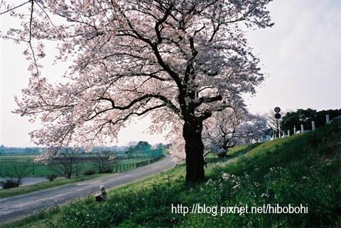 從這裡開始就是櫻花的句點了喔!
